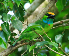 Yellow-crowned Barbet