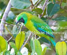 Bornean Leafbird