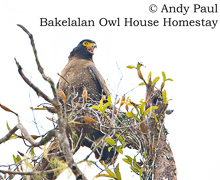 Mountain Serpent Eagle