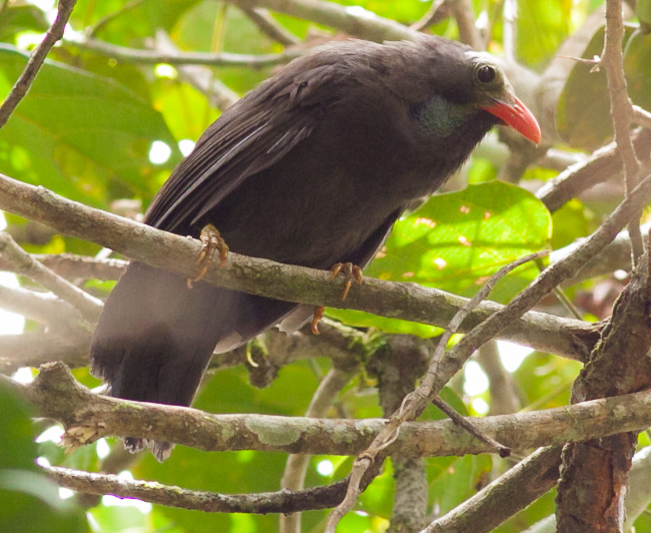 Bare-headed Laughingthrush
