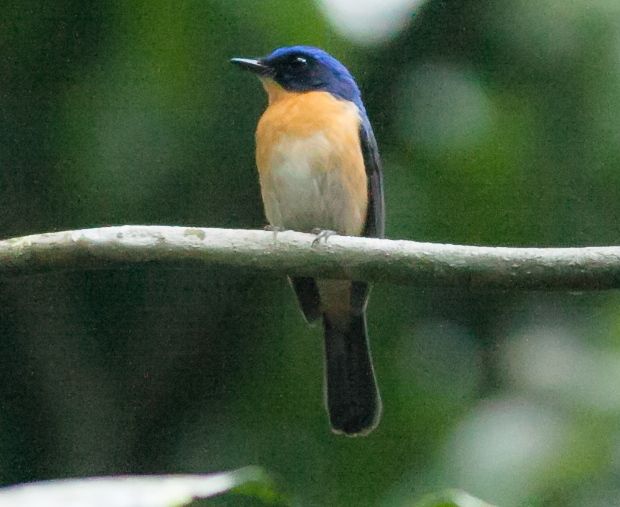 Bornean Blue Flycatcher