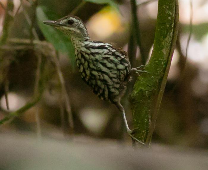 Bornean Ground Babbler