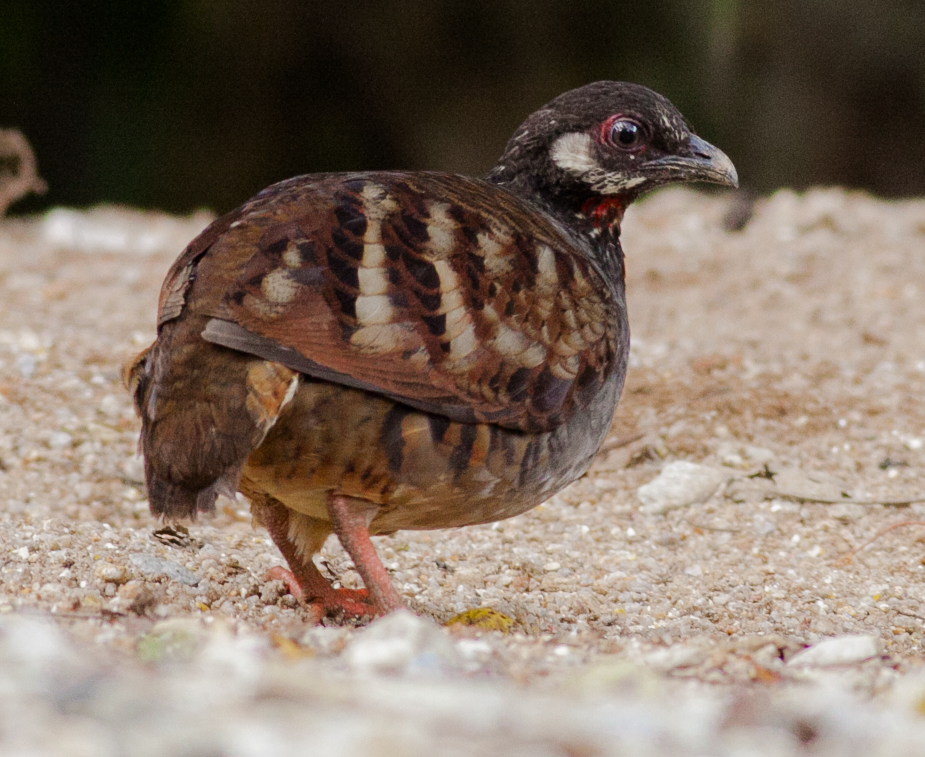 Malayan Partridge