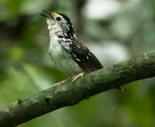 Striped Wren Babbler