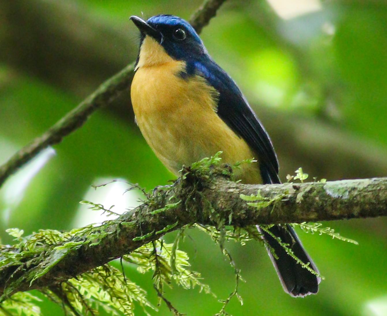 Bornean Blue Flycatcher