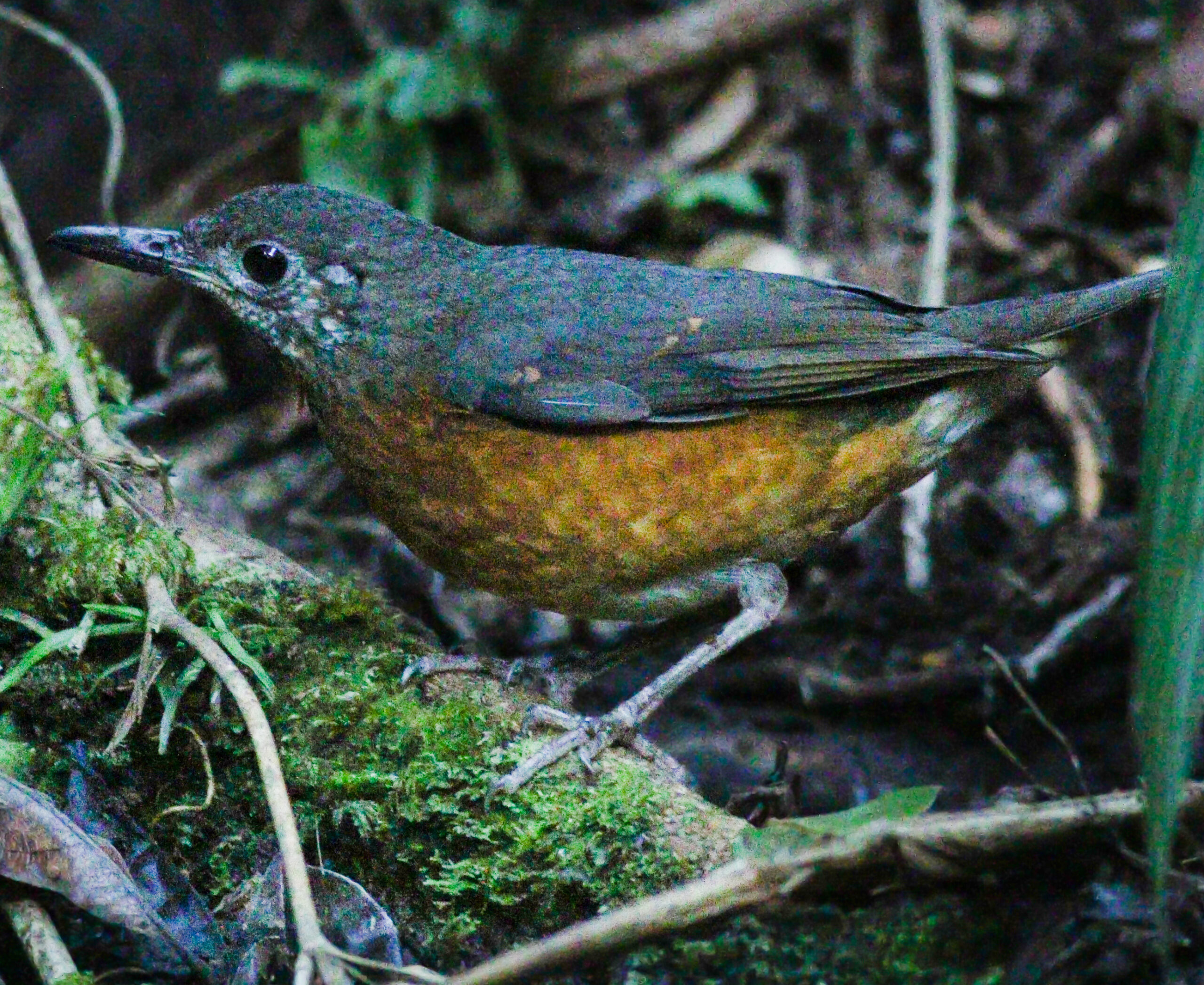 Everett's Thrush