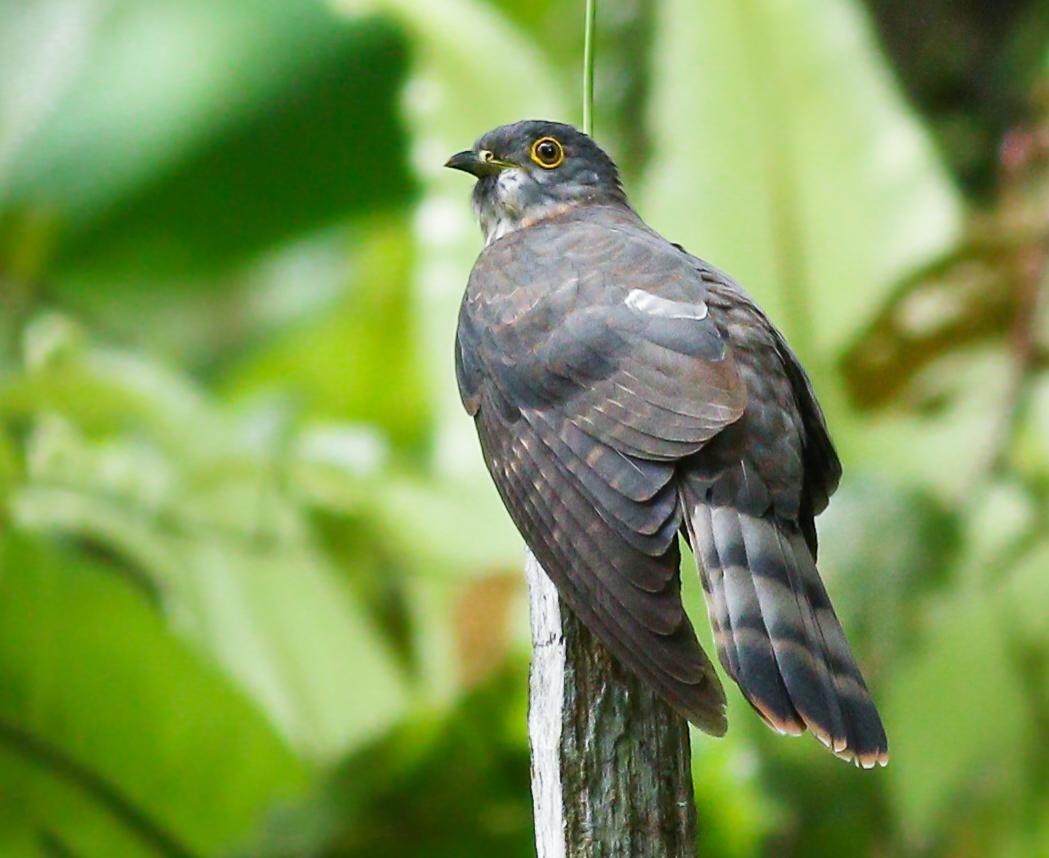 Malaysian Hawk Cuckoo