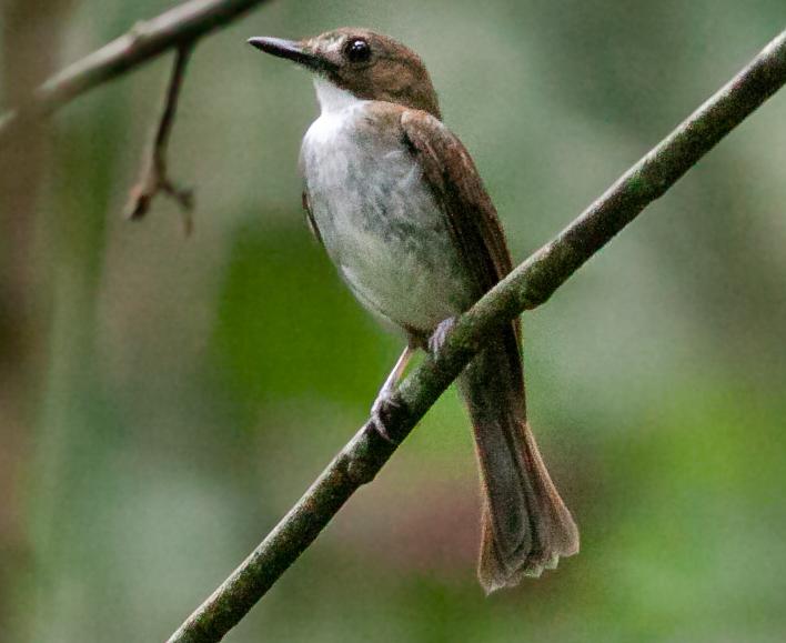 Grey-chested Jungle Flycatcher